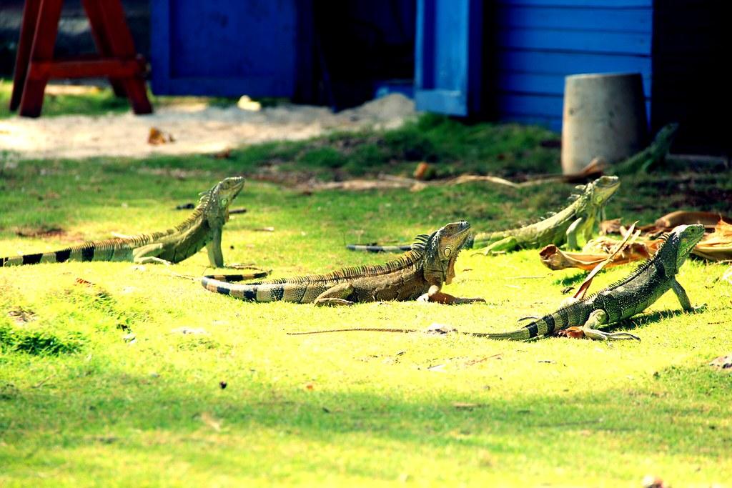 Resultado de imagen para iguanas tomando el sol