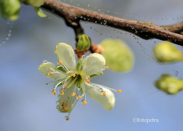Perlenketten im Pflaumenbaum