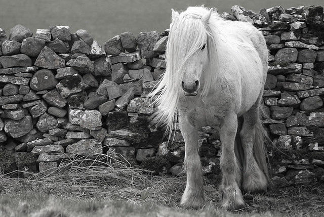 Lunesdale Fell Pony, Crossbank (Ravenstonedale) Howgill Fells near Kirkby Stephen, Cumbria, UK