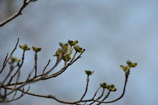 Dogwood buds | by raowen