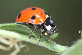 Ladybug Eats Aphid! | by DrPhotoMoto