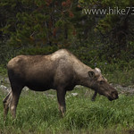 Moose in Kootenai Lakes