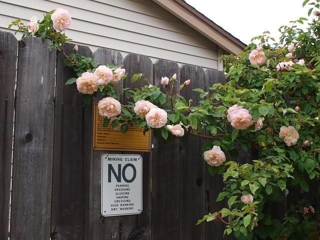 L5113712 Jaune desprez roses