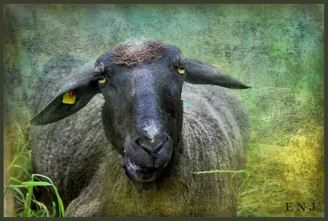 Schafe 120