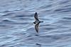 011031-IMG_2999 Gould's/Collared Petrel (Pterodroma leucoptera/Pterodroma brevipes) by ajmatthehiddenhouse