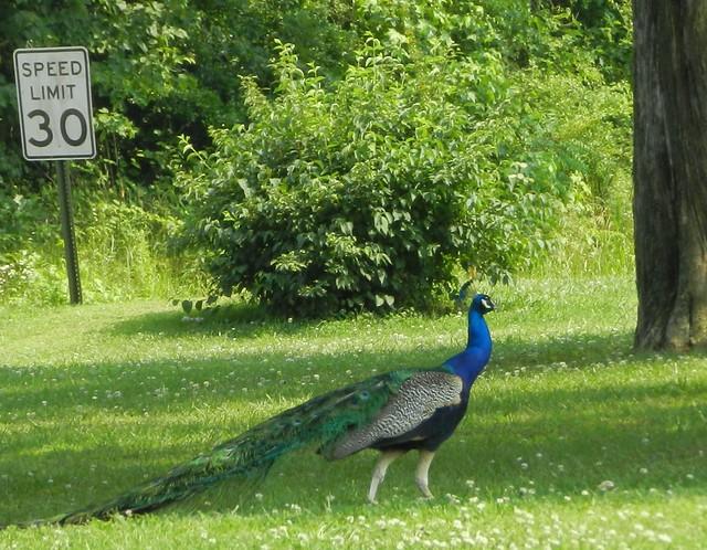 Slow - Peacock crossing