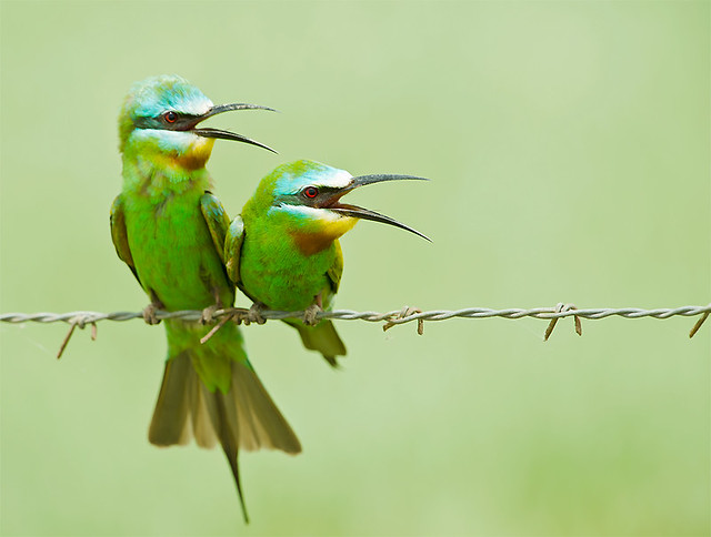 Bee-eater Courtship