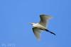 Intermediate egret (mesophoyx intermedia) by PL 62