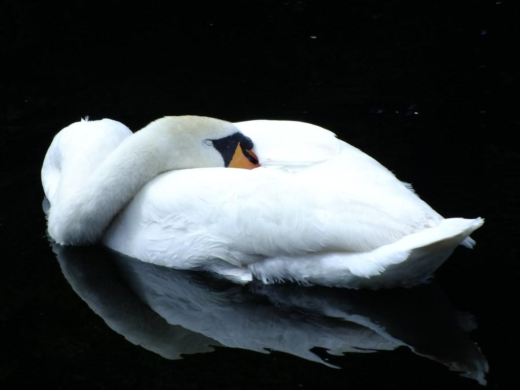 The Sleeping Swans >> Sleeping Swan 50 365 Mute Swan Cygnus Olor Fast Asleep Flickr