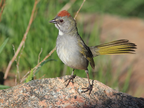 Green-tailed Towhee 08-20160612