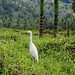 Flickr photo 'Bubulcus ibis' by: John Tasirin.