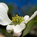 white dogwood bloom by loco's photos