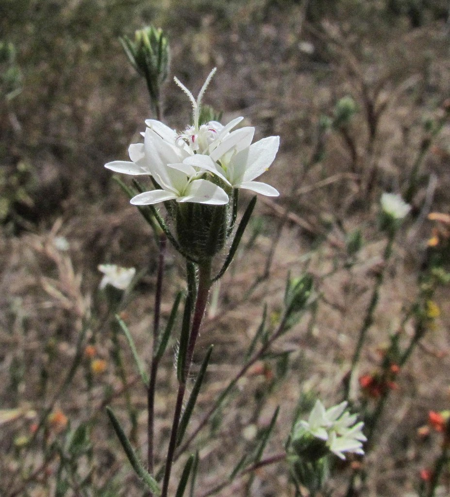 Asteraceae, Osmadenia tenella