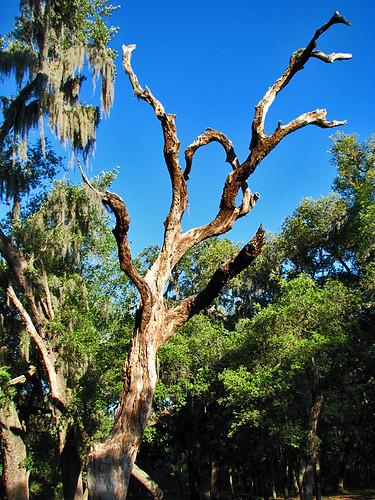 park sky tree green nature clouds landscape dead outdoors oak florida fl oaktree twisted pascocounty newportrichey starkeypark