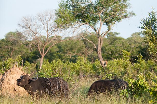 Buffaloes corner leopard up a tree