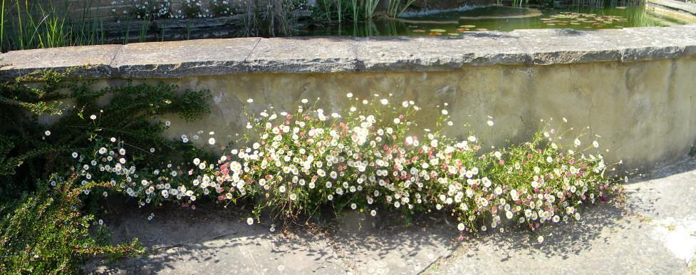 St Margarets Bay Gardens Mediterranean fleabane? Deal to Dover