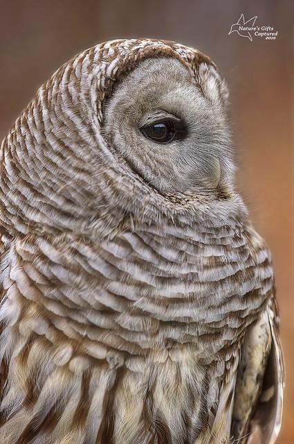Barred Owl - Profile