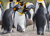 King Penguins (Aptenodytes patagonicus), Tierra del Fuego, Chile by Free pictures for conservation