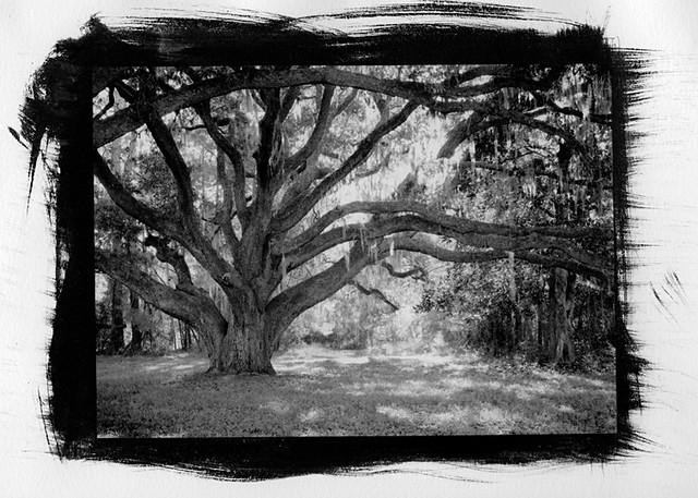 Oak Tree 5x7 pt/pd