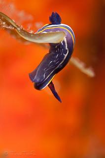 Hypselodoris fontandraui | by ToniTofa