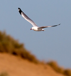 seagull 15 | by Jim Bendon