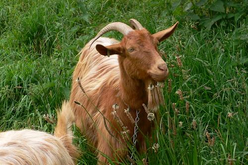 Golden Guernsey Goats on Guernsey | by heatheronhertravels