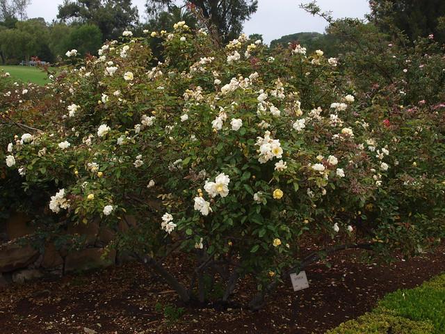 L6104307 Daybreak rose
