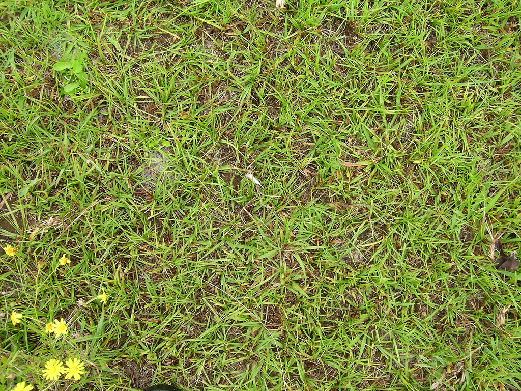 Image result for Bahia Grass