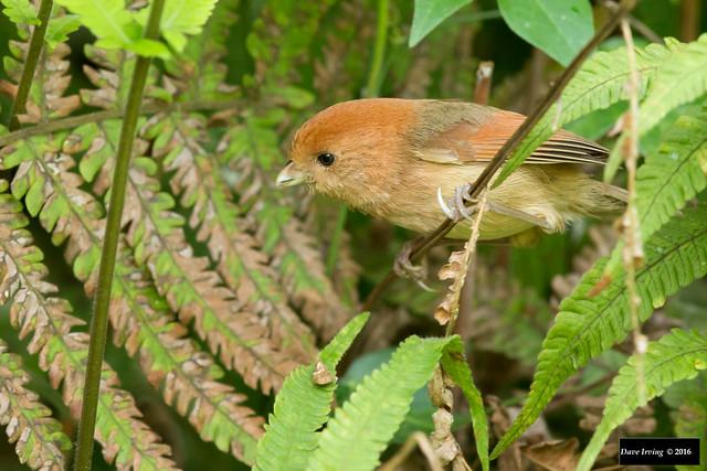 Vinous-throated Parrotbill (Paradoxornis webbianus bulomachus)