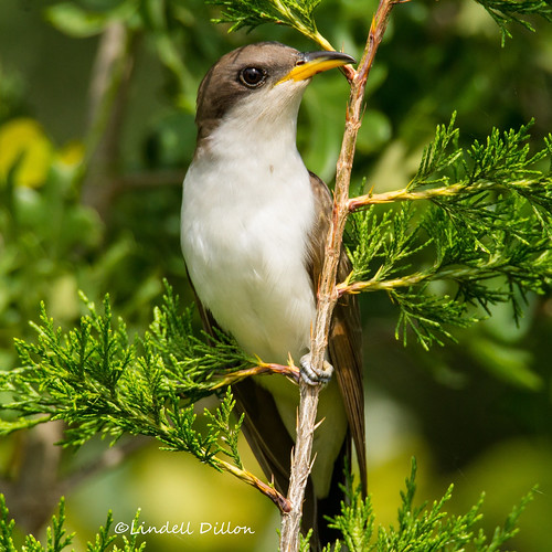 Yellow-billed Cuckoo | by Lindell Dillon