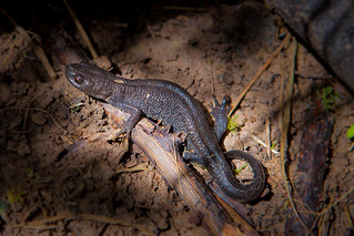 Great Crested or Warty Newt ♀