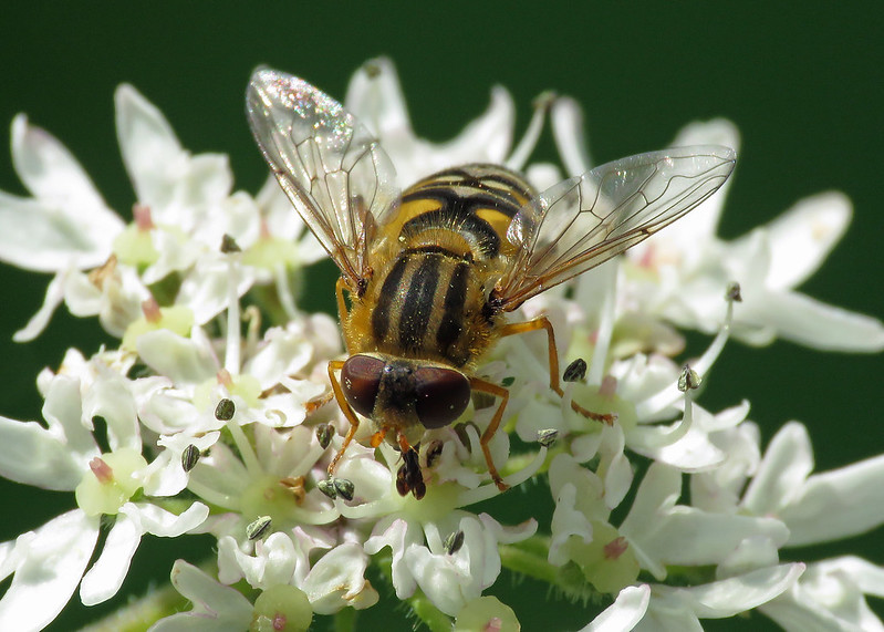 Parhelophilus fruetorum / versicolor