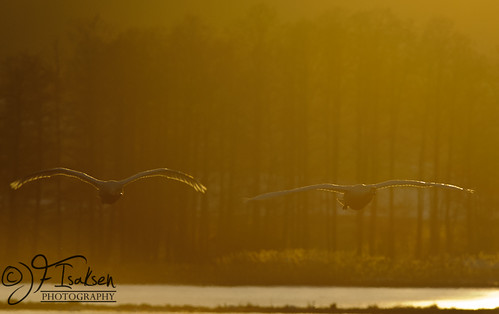 Whopper Swans 2011 (1 of 8) | by JFIsaksen