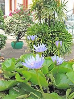 Lotus en fleur (Phnom Penh)