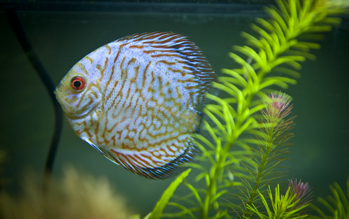 Red Spider Discus | by Vee-vee