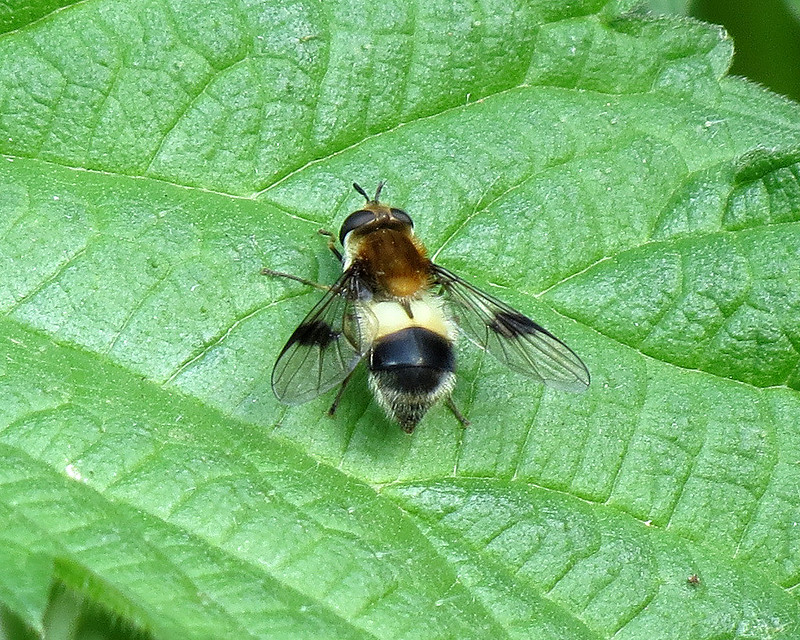 Hoverfly - Leucozona lucorum