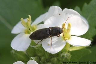 Cidnopus pilosus? | by Joan Quintana (joanillo)