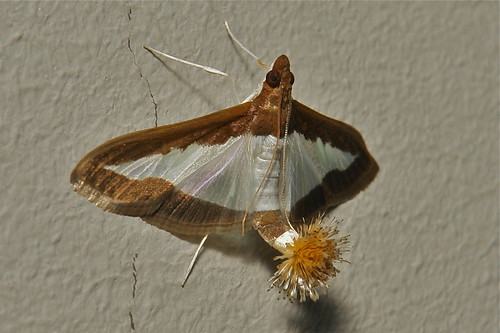Female Flower-tail or Cucumber Moth (Diaphania indica, Crambidae) | by John Horstman (itchydogimages, SINOBUG)