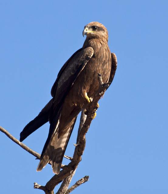 proud to be a black kite