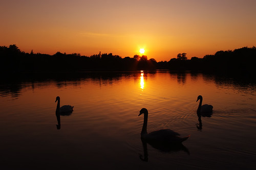 trees sunset sun lake silhouette swan somerford