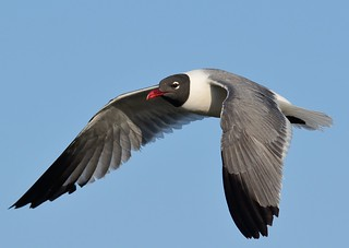 """Laughing in Flight""   ~  Laughing Gull 