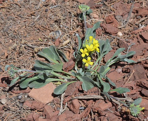 newmexico bladderpod bernalillocounty lesquerellaovalifolia