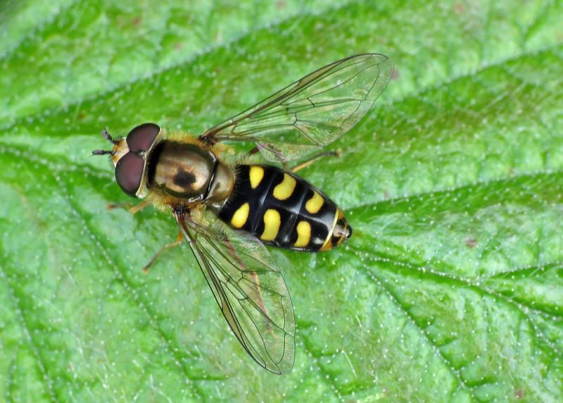 Hoverfly - Eupeodes luniger