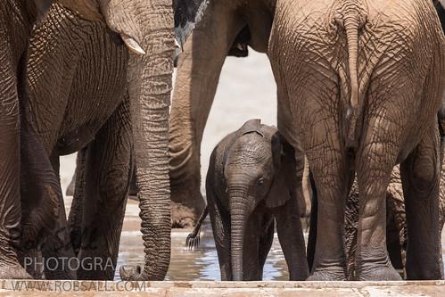 africa vacation elephant canon mammal elephants 500mm namibia canoneos africanelephant 2015 loxodontaafricana kunene canon500mmf4 7dmarkii canon7d2 canon7dmarkii canon7dmark2 robsallphotography 7dm2 7dmark2 7dmii canoneos7dmark2 canon7dm2 canoneos7dm2 canon500mmf4lii canon500mmf4lisiiusm canon500mmf4ii
