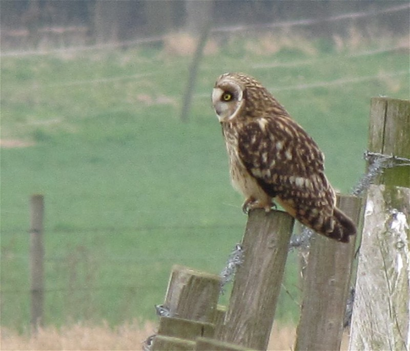 Short-eared Owl at Tophill Low on 13/03/2012.