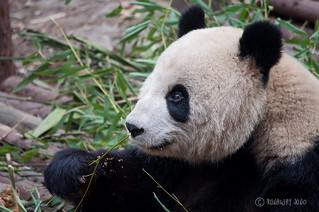 Giant Panda Eating | by RunawayJuno