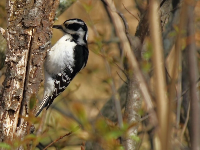 The Downy Woodpecker thrives,