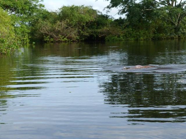 Delfín rosado en las Pampas del Yacuma (Bolivia)