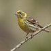European Serin - Photo (c) Agustín Povedano, some rights reserved (CC BY-NC-SA)