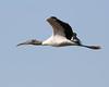 Wood Stork  (Mycteria americana) by Lip Kee